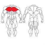 عضله سینه ای و تمرینات با وزنه برای بدنسازی