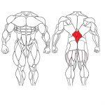عضله پایین کمر و تمرینات با وزنه برای بدنسازی
